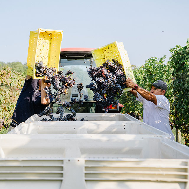 Emptying grapes